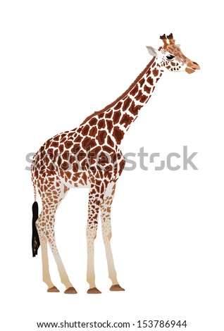 Giraffe (Giraffa camelopardalis)  on white background