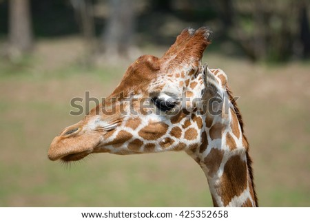 Giraffe (Giraffa camelopardalis) portrait of this majestic animal - stock photo