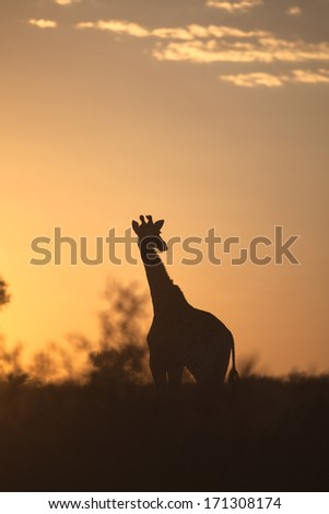 Giraffe (Giraffa camelopardalis) silhouetted against a sunrise sky in the Kalahari desert, Kgalagadi transfrontier park, South Africa. - stock photo