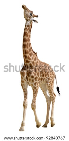 Giraffe (Giraffa camelopardalis) standing looking up, isolated on white background - stock photo