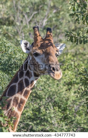 Giraffe grazing in the Welgevonden Game Reserve in South Africa
