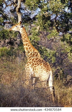 Giraffe grazing on a tree in Kruger National Park - stock photo