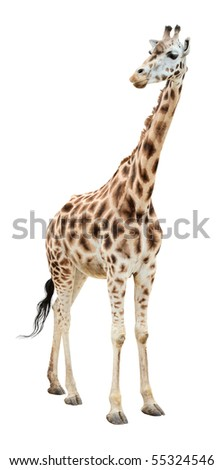 Giraffe half-turn looking isolated on white background