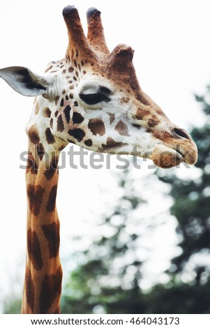 Giraffe head close up