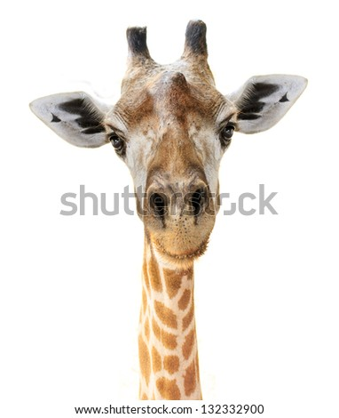 Giraffe head face look funny isolated on white background - stock photo