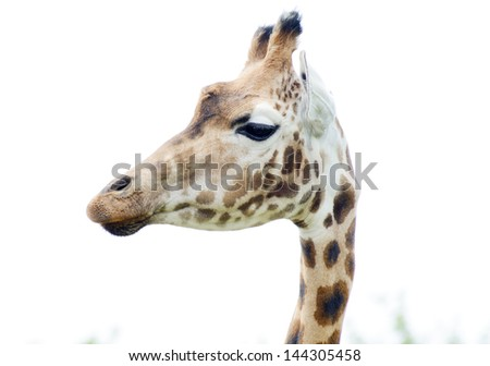 giraffe head in profile close showing fur spotted pattern detail