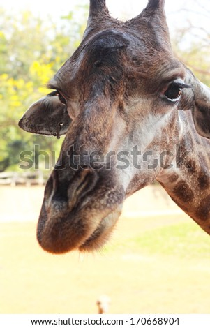 Giraffe head in the nature - stock photo