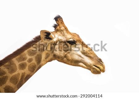 giraffe head isolate on white - stock photo