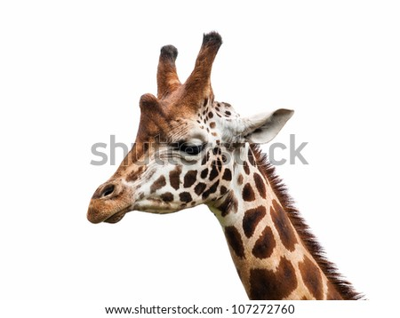Giraffe head isolated - stock photo