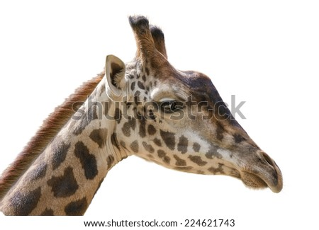 Giraffe head on white