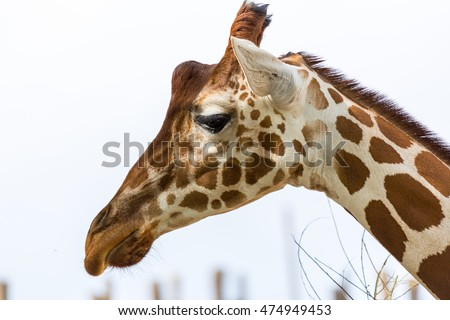 Giraffe head.  Profile of a giraffe's head isolated from background.