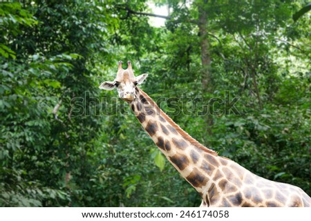 Giraffe head with neck isolated on nature background - stock photo