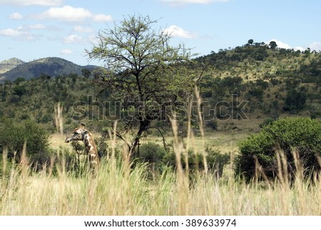 Giraffe hidden in tall grass, with only head visible, in Pilanesberg Game Reserve, South Africa - stock photo