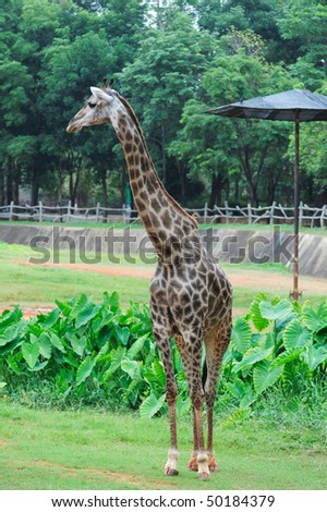 Giraffe in a Zoo - stock photo