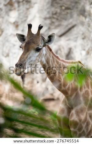 Giraffe in a zoo in Thailand.  - stock photo