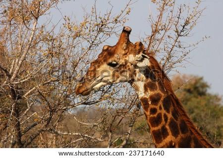 Giraffe in Africa - stock photo