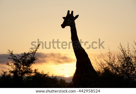 Giraffe in African sunset