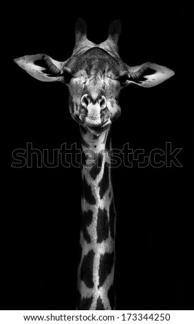 Giraffe in black and white - stock photo