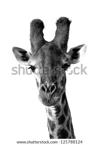 Giraffe in black and white, isolated on white background - stock photo