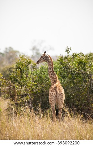 Giraffe in Chobe National Park, Botswana