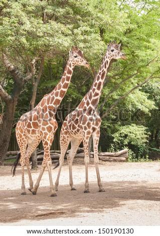Giraffe in courtship - stock photo