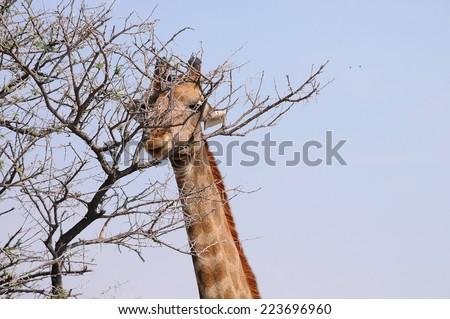 Giraffe in Etosha National Park - Namibia,  - stock photo
