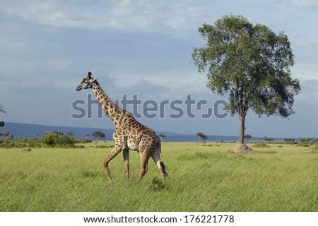 Giraffe in grasslands of Masai Mara near Little Governor's camp in Kenya, Africa - stock photo