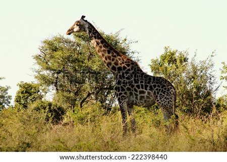Giraffe in its Natural Habitat, in the Kruger National Park of South Africa. - stock photo