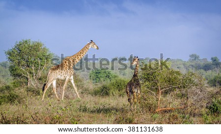 Giraffe in kruger national park, South Africa ; Specie Giraffa camelopardalis family of Giraffidae - stock photo