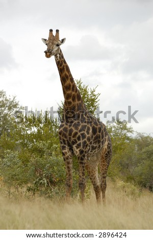 Giraffe in kruger park - stock photo