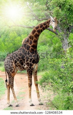 Giraffe in Kruger park South Africa - stock photo