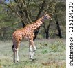 Giraffe in Lake Nakuru National Park - Kenya, Africa - stock photo