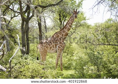 Giraffe in National Park Etosha, Namibia, Africa. - stock photo