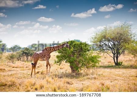 Giraffe in national park in Tanzania. Africa.  - stock photo