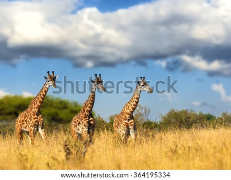 Giraffe in National park of Kenya, Africa - stock photo