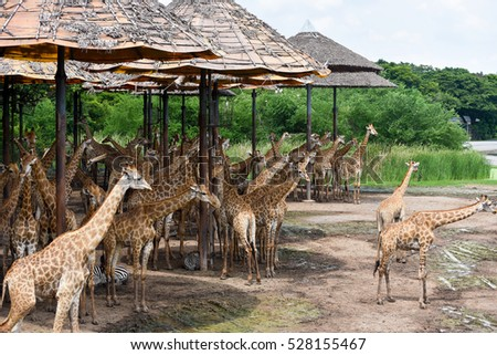 Giraffe in Open Zoo