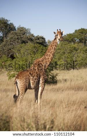Giraffe in savannah - stock photo