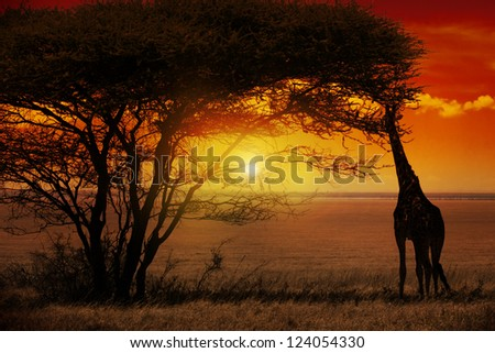 Giraffe in Sunset in Africa - stock photo
