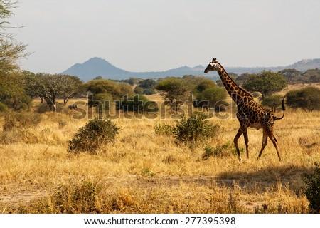 Giraffe in Tanzania - stock photo