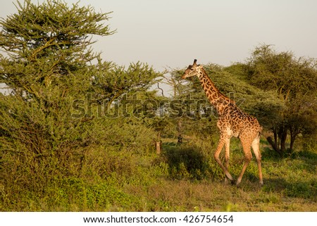 Giraffe in the african savanna - stock photo