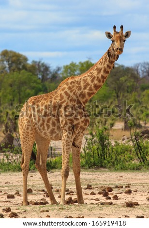 Giraffe in the Bush in Hwange National Park