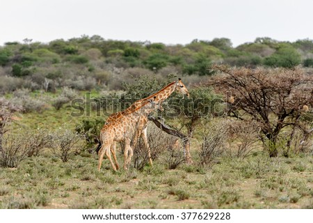 Giraffe in the Erindi Private Game Reserve, Namibia