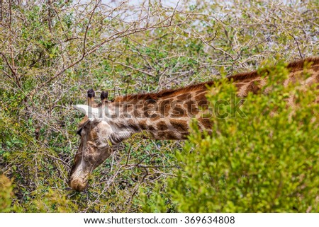 Giraffe in the Etosha National Park, Namibia - stock photo