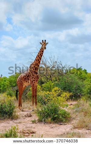 Giraffe in the Masai Mara