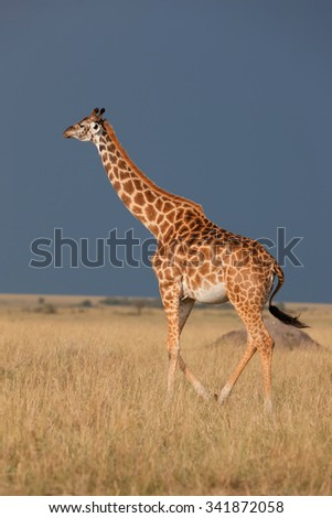 Giraffe in the Masai Mara National Reserve, Kenya - stock photo