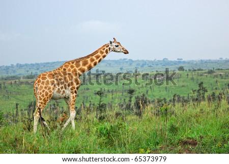 Giraffe in the Murchison falls park - stock photo