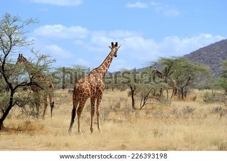 Giraffe in the National Reserve of Africa, Kenya - stock photo