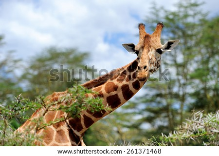 Giraffe in the wild. Africa, National Park of Kenya - stock photo