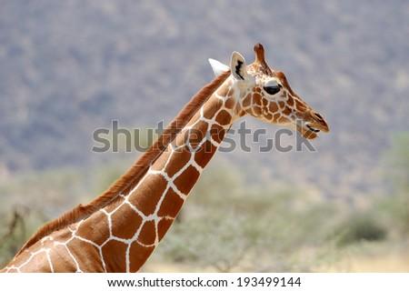 Giraffe in the wild. National Reserve - Kenya, East Africa - stock photo