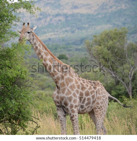 Giraffe in the wild of South Africa
